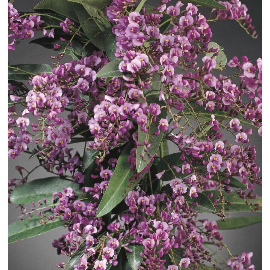 3.43-Gallon Vine Lilac (L10538)