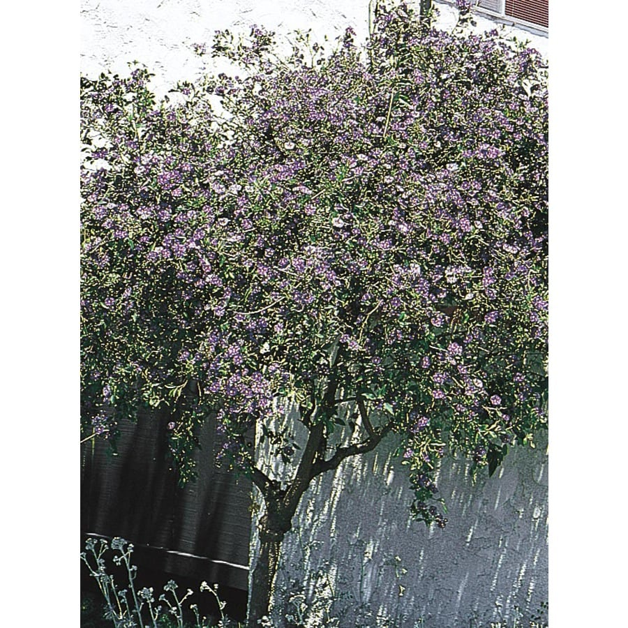 3.43-Gallon Purple Blue Potato Bush Flowering Shrub (L7532)