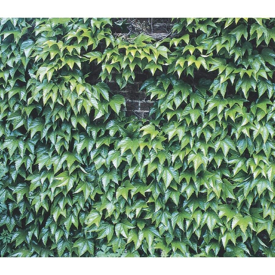 3.43-Gallon Green Showers Boston Ivy (L6208)