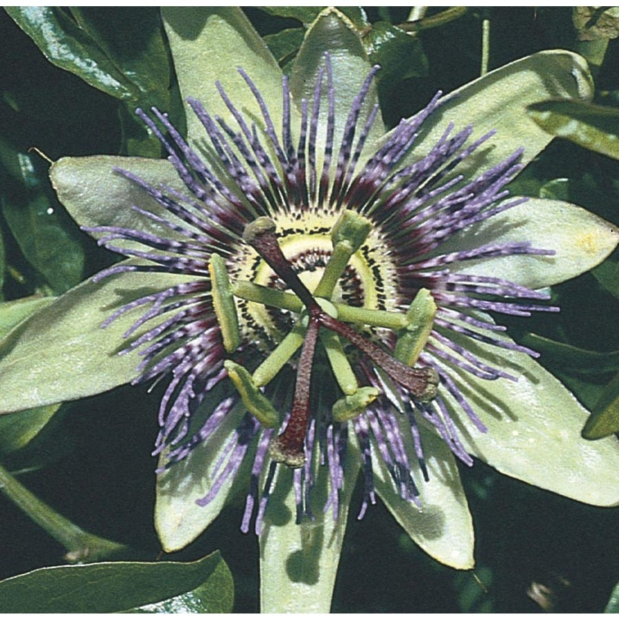 3.43-Gallon Blue Passion Flower (LW00669)