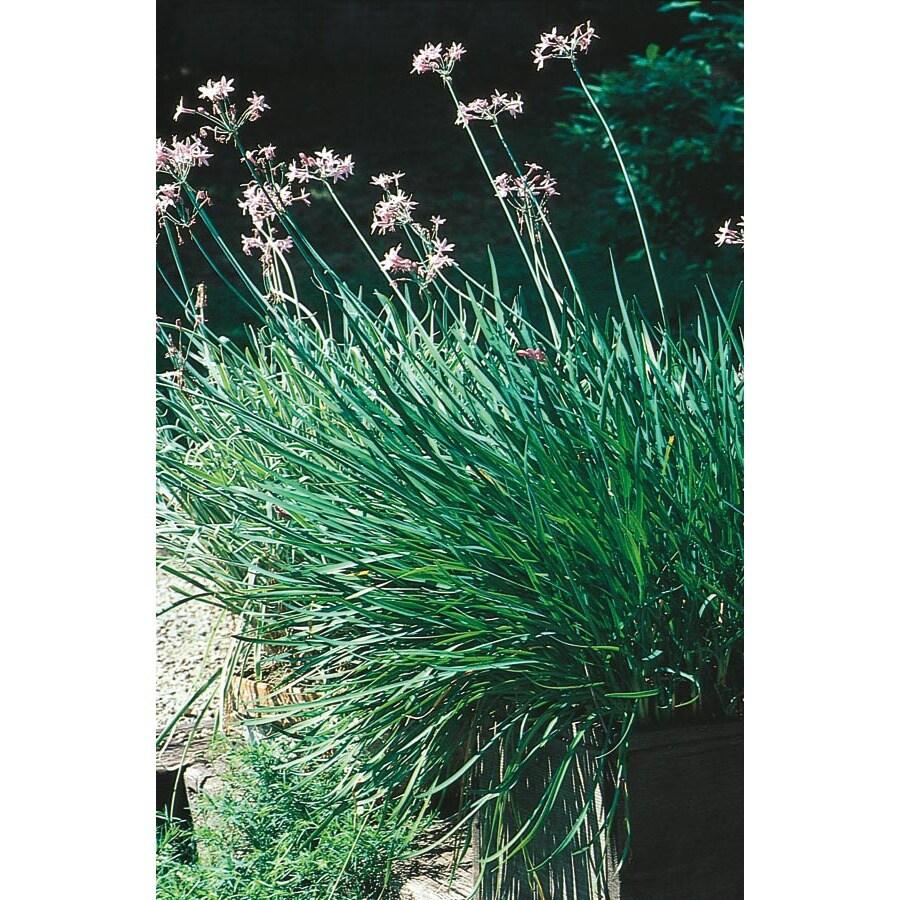 2.92-Quart Society Garlic (L6817)