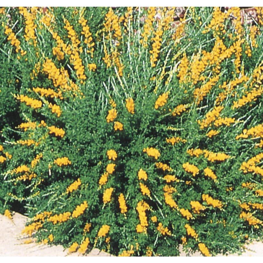 2.92-Quart Yellow Broom Accent Shrub (L3907)