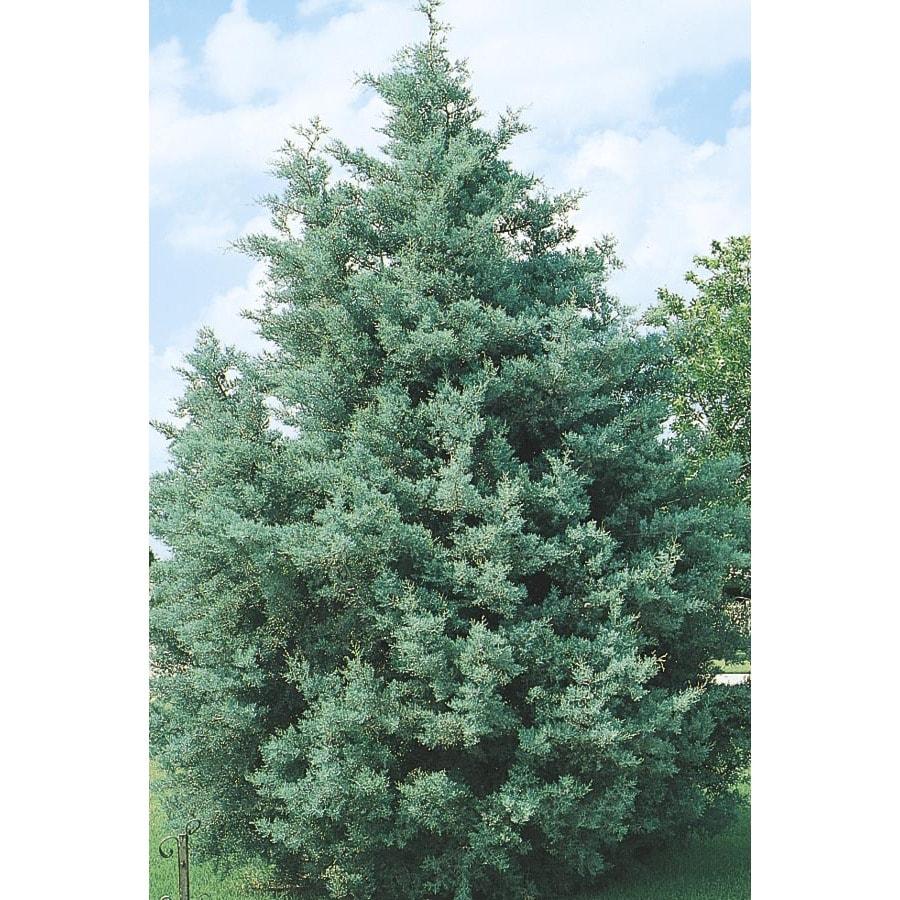 2.92-Quart Arizona Cypress Screening Tree (L5089)