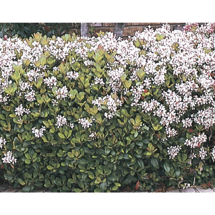 2.92-Quart Mixed Indian Hawthorn Foundation/Hedge Shrub (L11166)