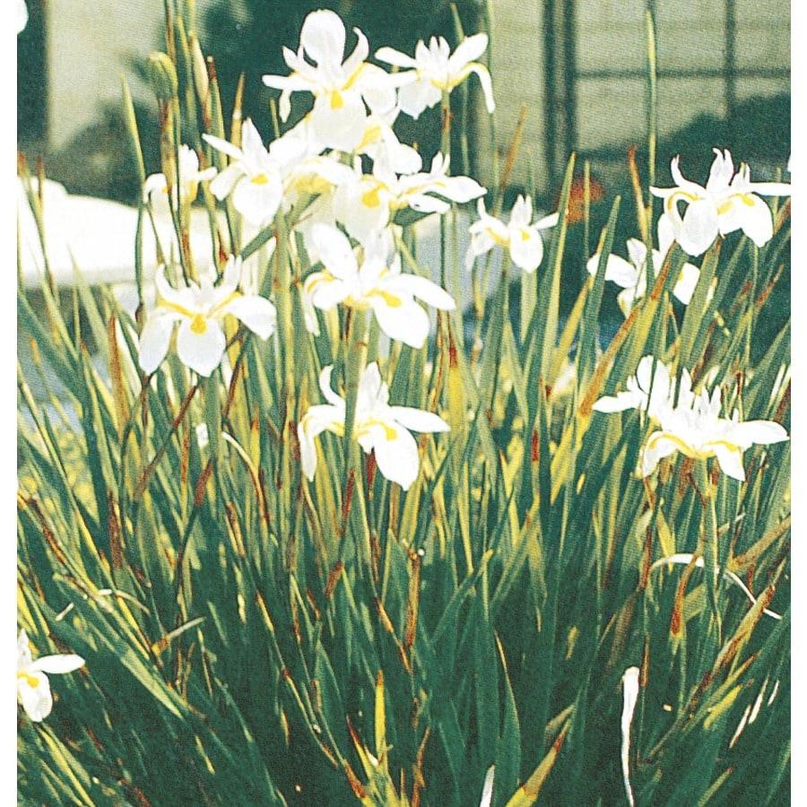 2 92 Quart Fortnight Lily L9397 At Lowes Com