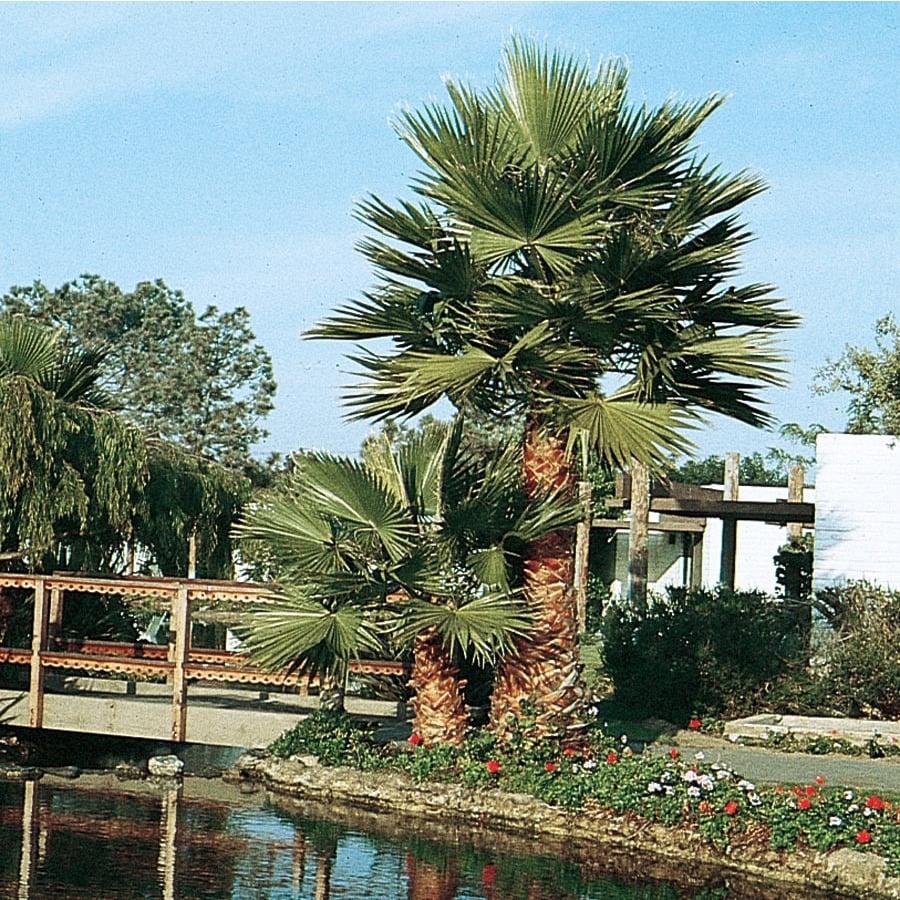 2.92-Quart Mexican Fan Palm Feature Tree (L3048)