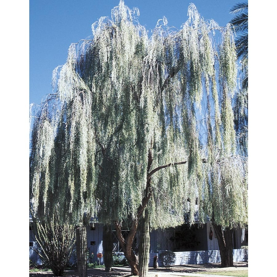 3.43-Gallon Weeping Acacia Feature Tree (L14867)