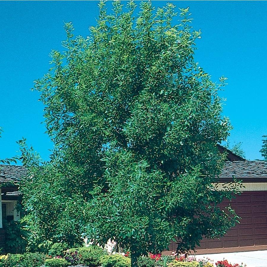 3.43-Gallon Shamel Ash Shade Tree (L6314)