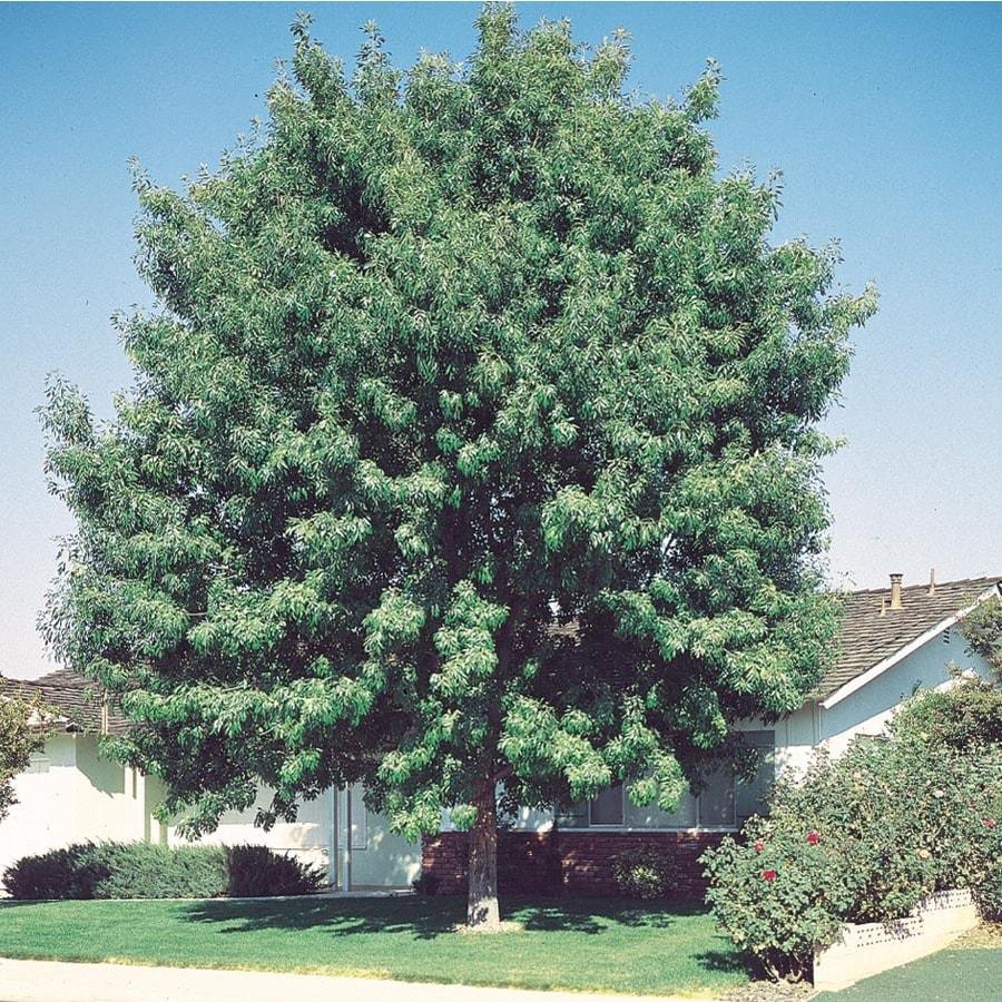 3.43-Gallon Fan-Tex Ash Shade Tree (L1051)