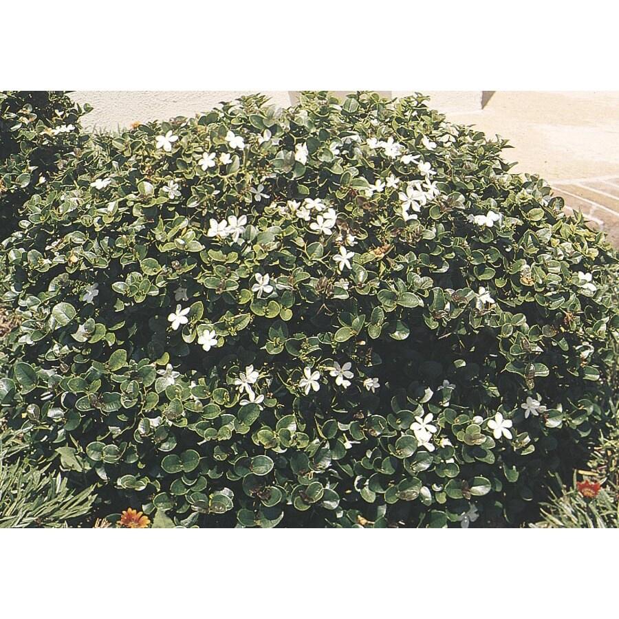 3.43-Gallon White Tuttle's Natal Plum Foundation/Hedge Shrub (L4669)