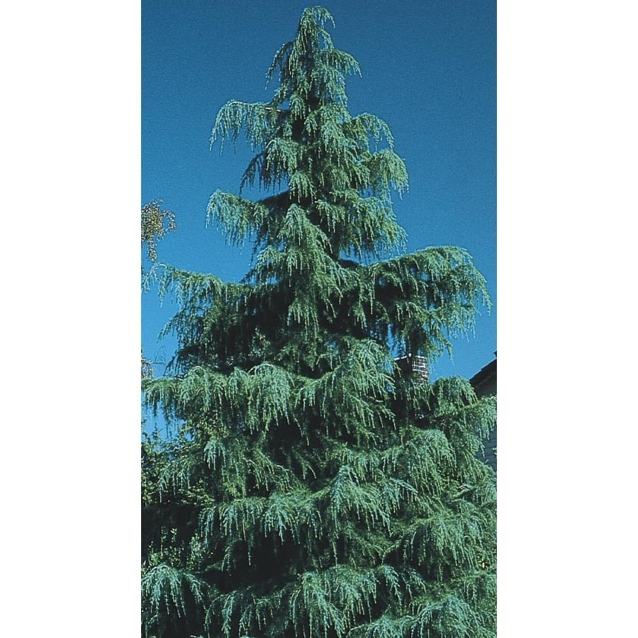 3.43-Gallon Deodar Cedar Feature Tree (L4674)