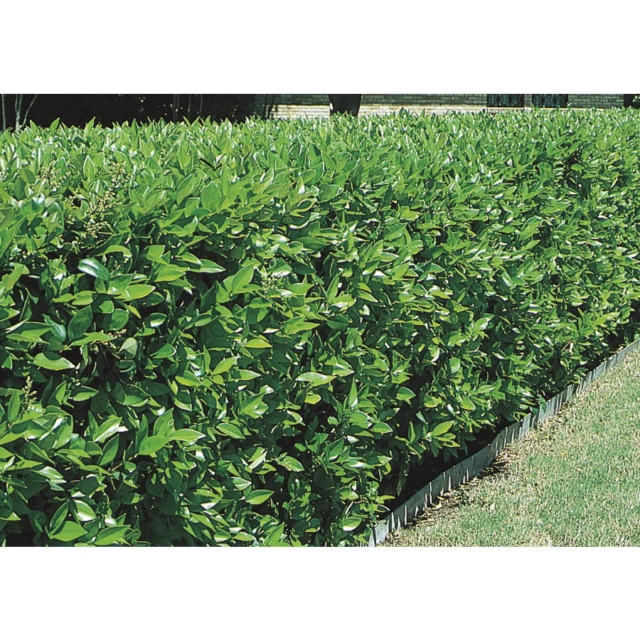 3.43-Gallon White Green Ligustrum Foundation/Hedge Shrub (L7467)