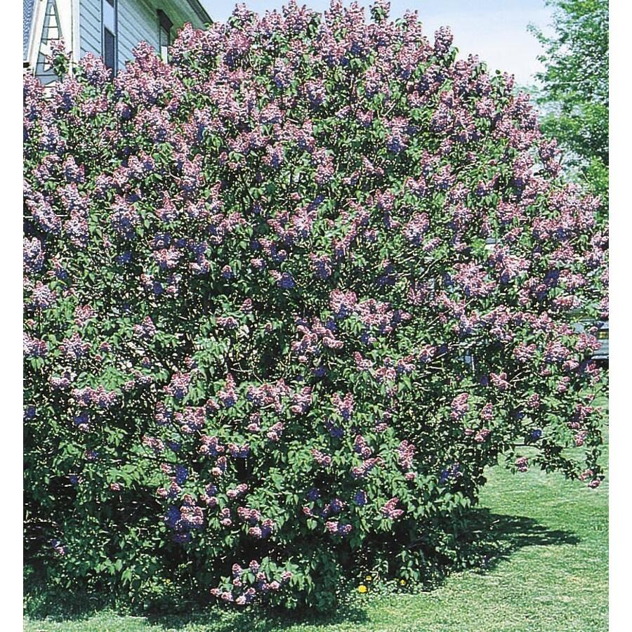 3.43-Gallon Purple Old Fashioned Purple Lilac Flowering Shrub (L7783)