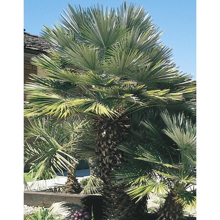 3.43-Gallon European Fan Palm (L9064)