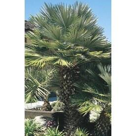 3 58 Gallon European Fan Palm L9064