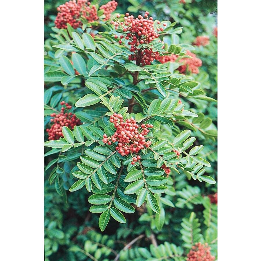 3.43-Gallon Brazilian Pepper Shade Tree (L9430)