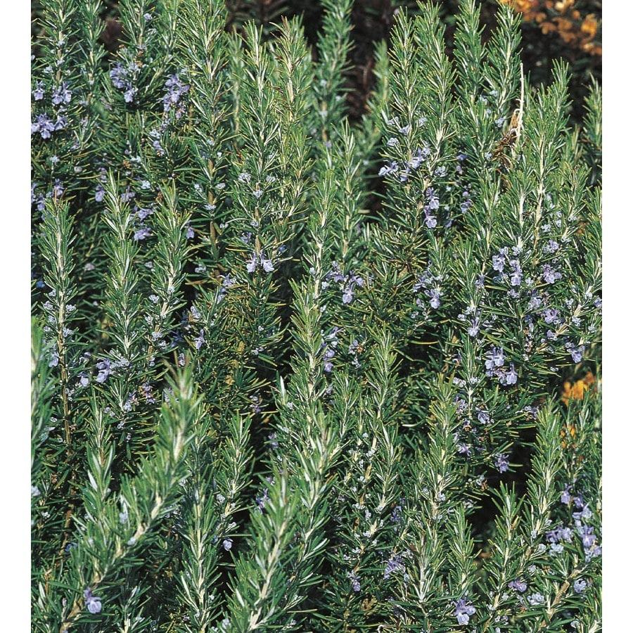 3.43-Gallon Blue Rosemary Accent Shrub (L7037)