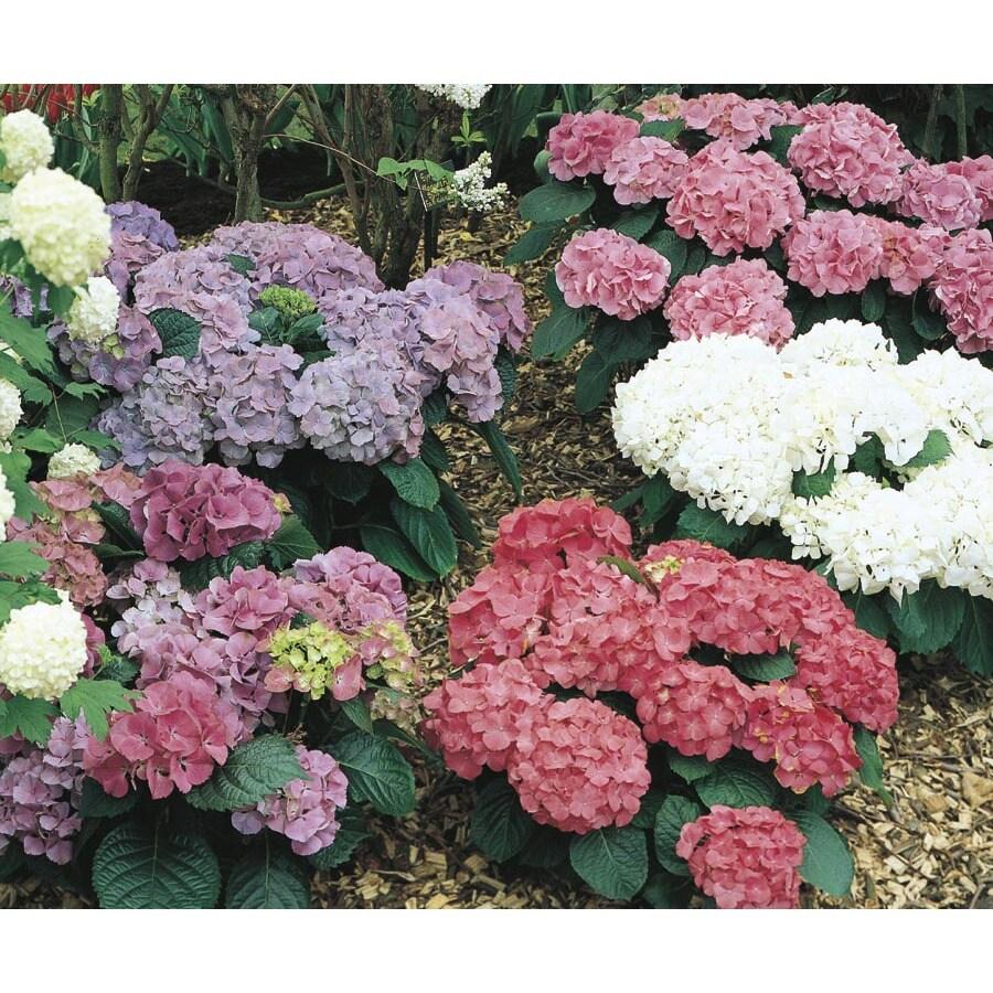 2.92-Quart Mixed Hydrangea Flowering Shrub (L6357)