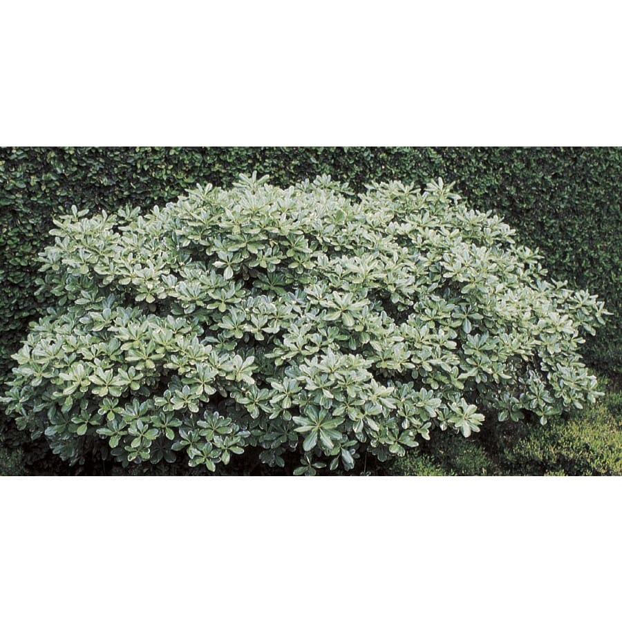 2.92-Quart White Variegated Pittosporum Foundation/Hedge Shrub (L10907)