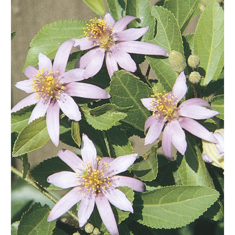 2.92-Quart Lavender Starflower Accent Shrub (L11725)