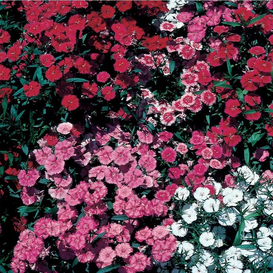 2.92-Quart Dianthus (L9857)