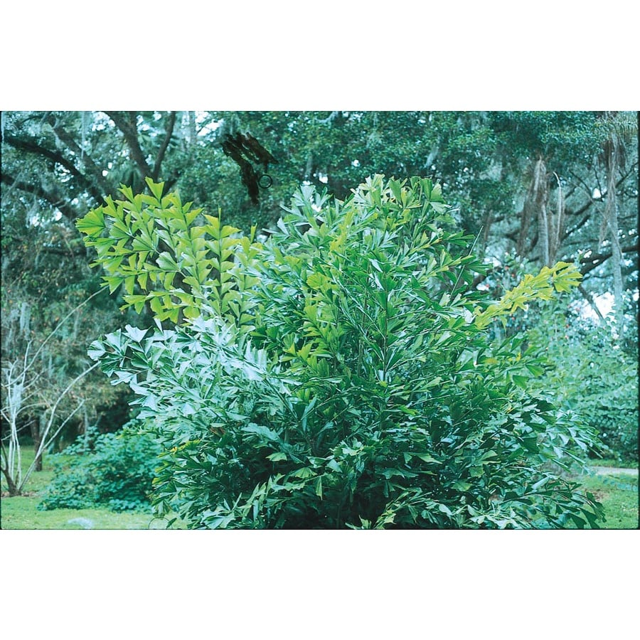 5.5-Gallon Fishtail Palm (L6922)