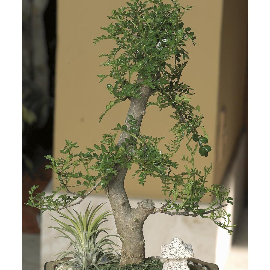 3.25-Quart Bonsai (L20919HP)