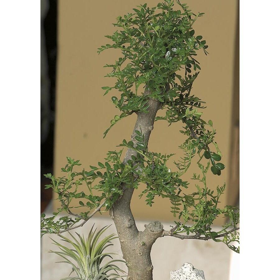 3-Quart Bonsai (L20919hp)