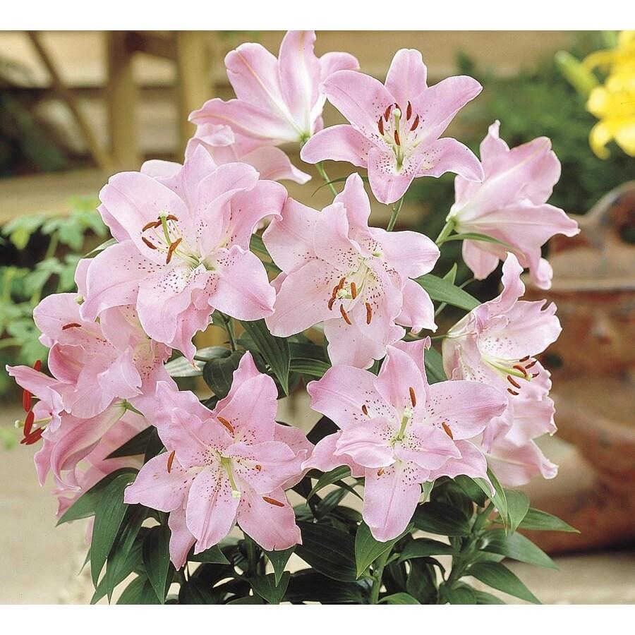 1.4-Quart Oriental Lily (L21441hp)