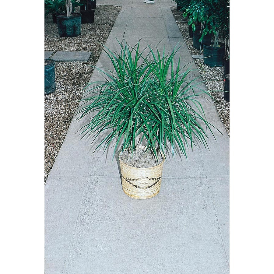 5.5-Gallon Spike Dracaena (L17139)