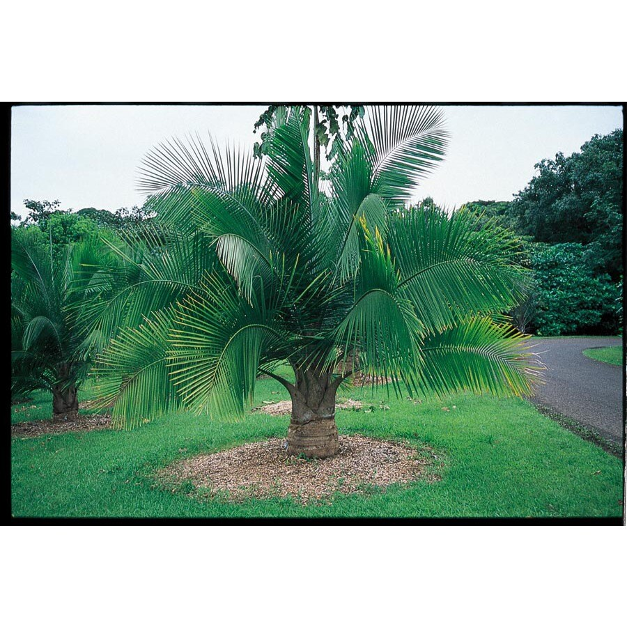 2.25-Gallon Majesty Palm (LTL0062)
