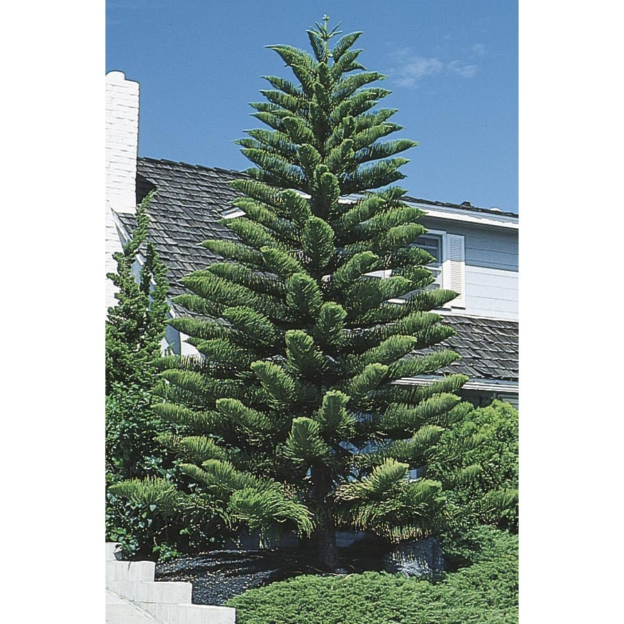 1.75-Gallon Norfolk Island Pine (L4279)