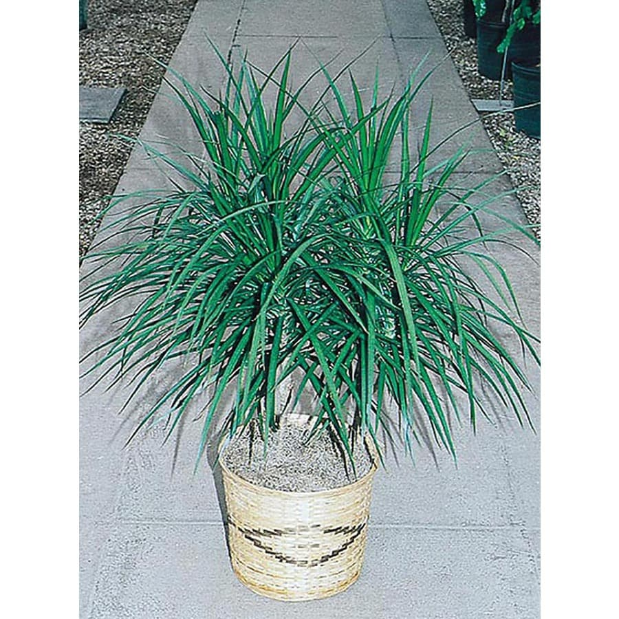 1.5-Gallon Spike Dracaena (L17139)