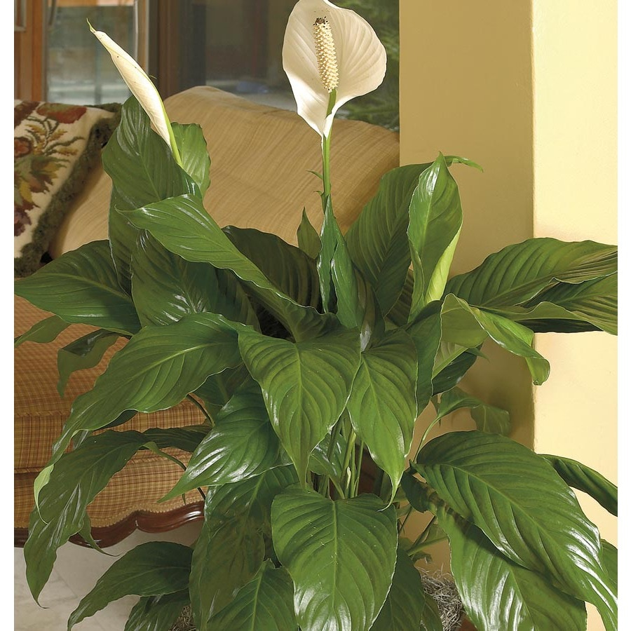 Shop White Peace Lily L20977hp At Lowes