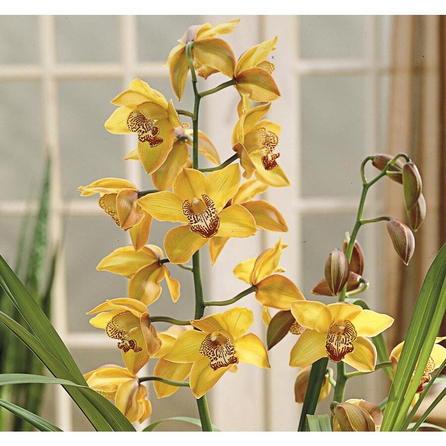 2.75-Quart Cymbidium Orchid (L20933HP)