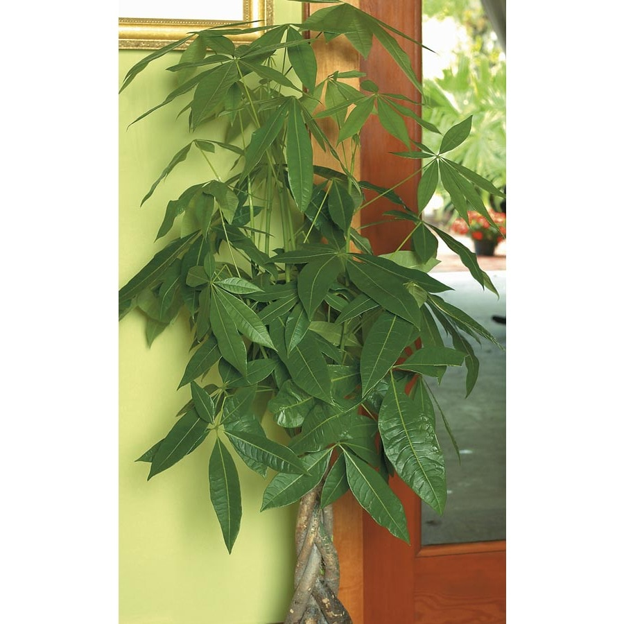3.5-Quart Pachira Money Tree (L20962HP)