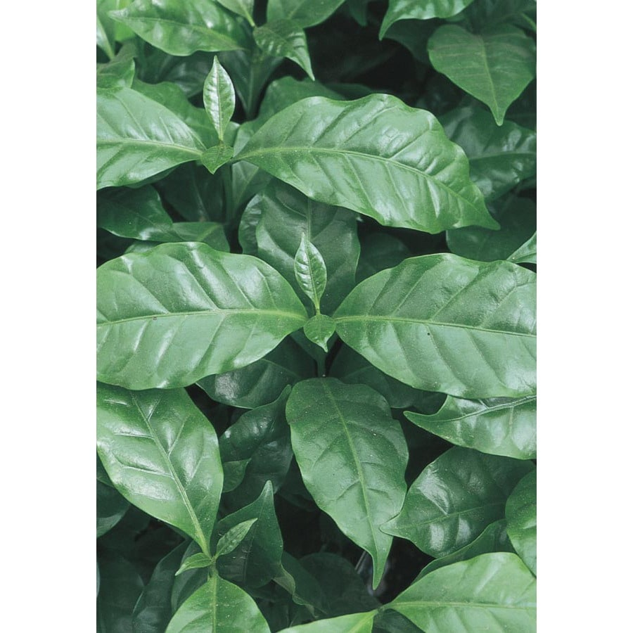 Coffee Plant (LW479HP)