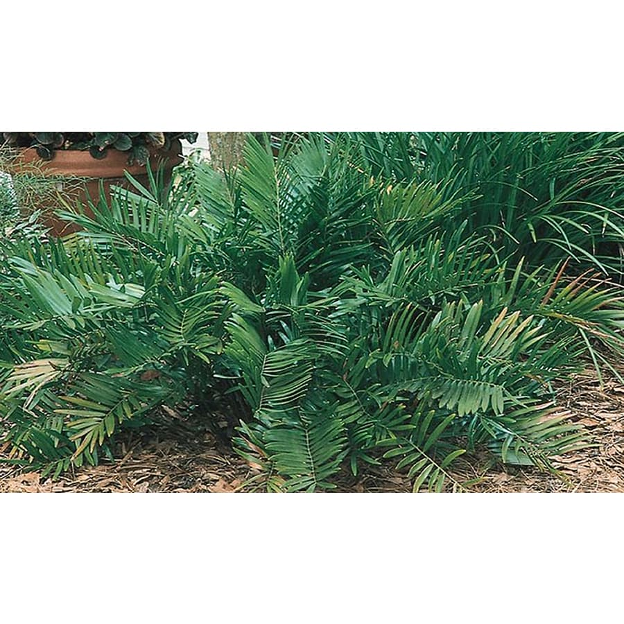 1.25-Quart Coontie Palm (L8722)
