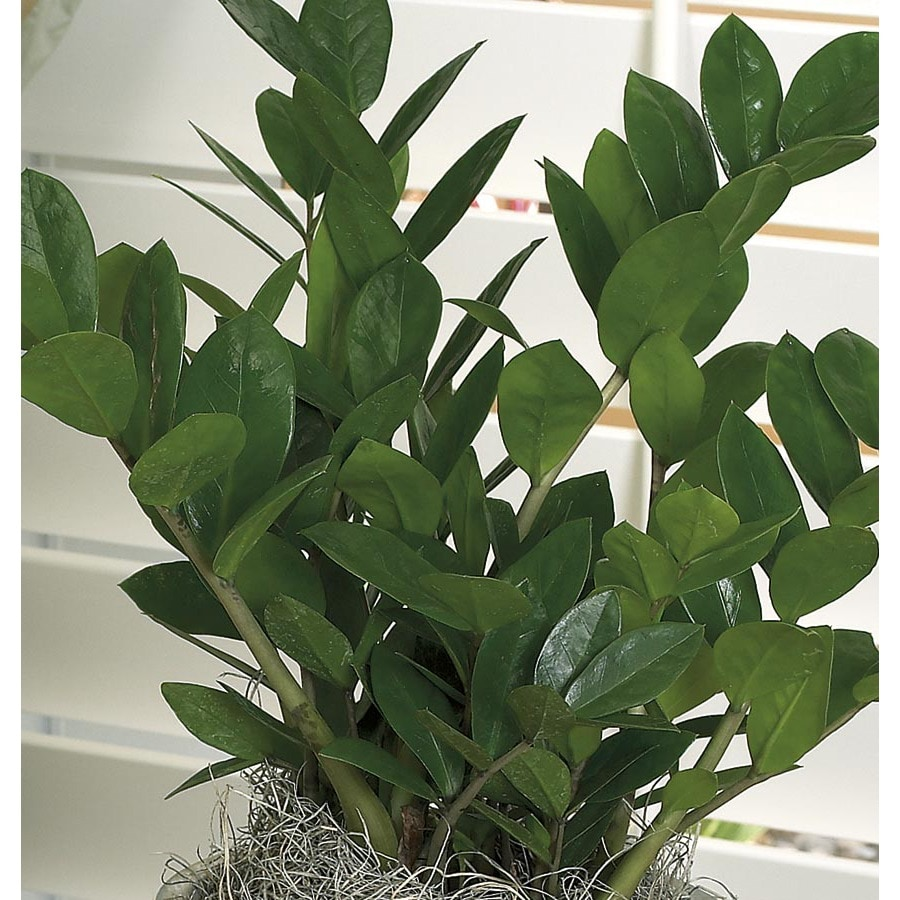 Shop 3 4 quart zamioculcas l20983hp at for Plante zamioculcas