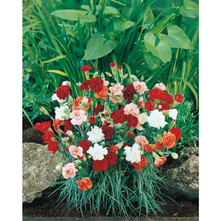 14-oz Carnations (L5774)
