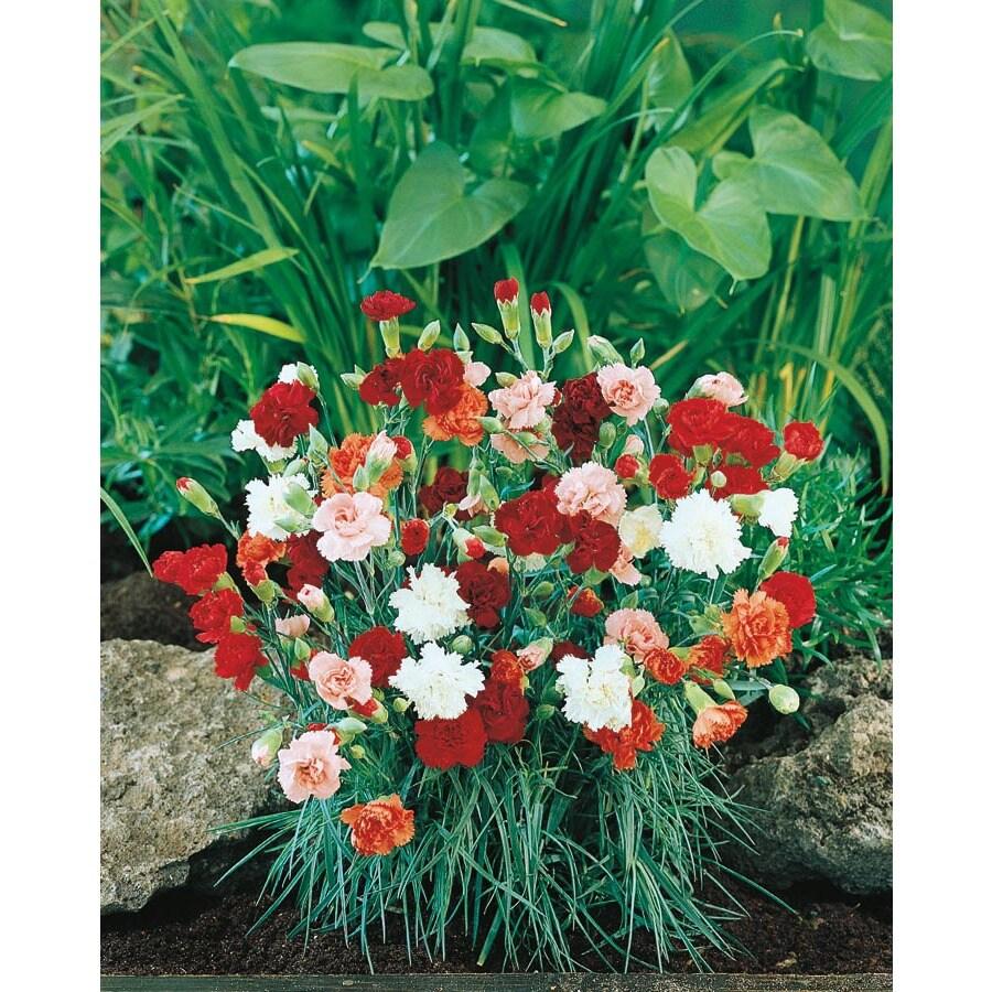 1.40-Quart Carnations (L5774)