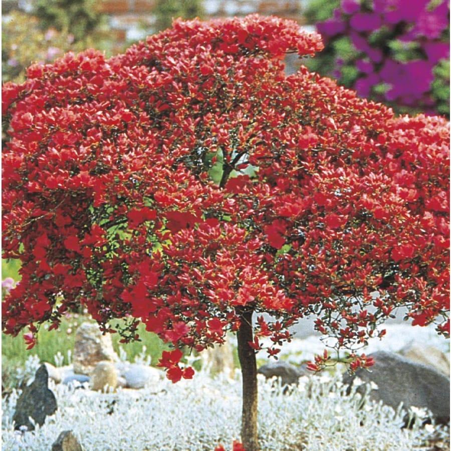 1.4-Quart Mixed Tree Azalea Flowering Shrub (L7297)
