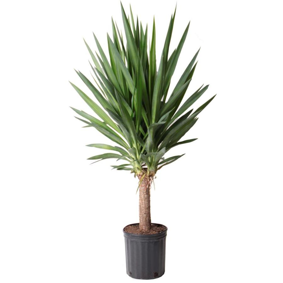 1.5-Gallon Yucca