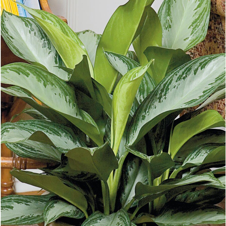 1.4-Quart Aglaonema (L20910HP)