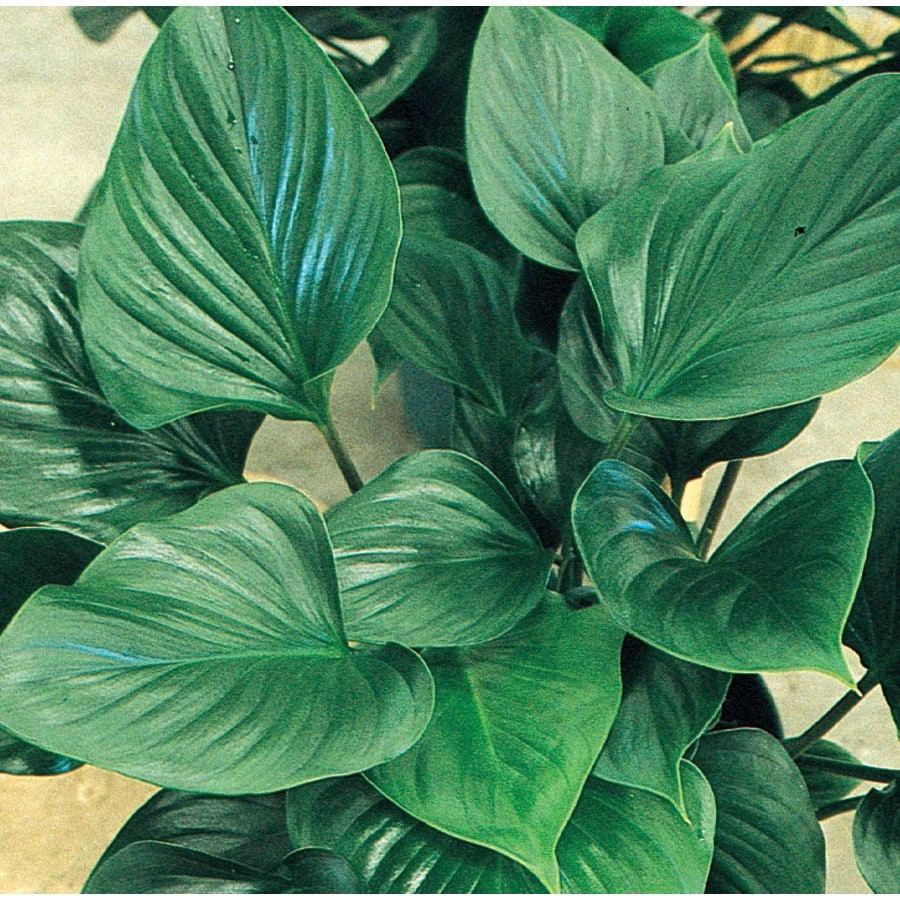 1.4-Quart Emerald Gem Homalomena (L15816HP)
