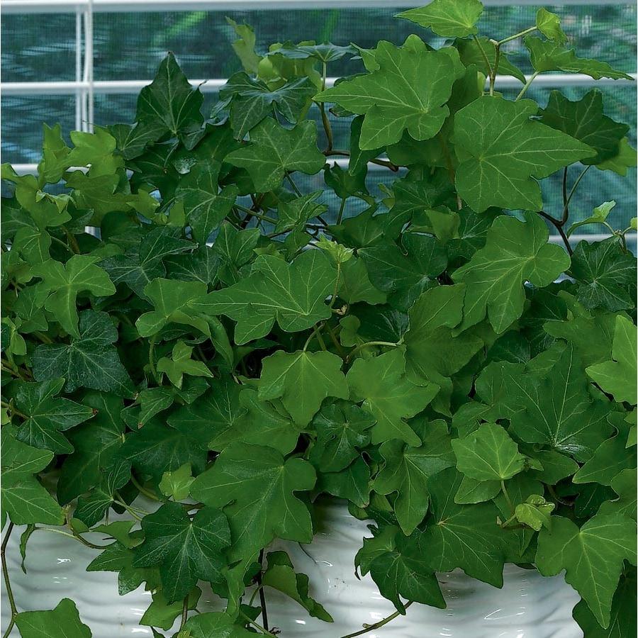 1.4-Quart Ivy (L20950HP)
