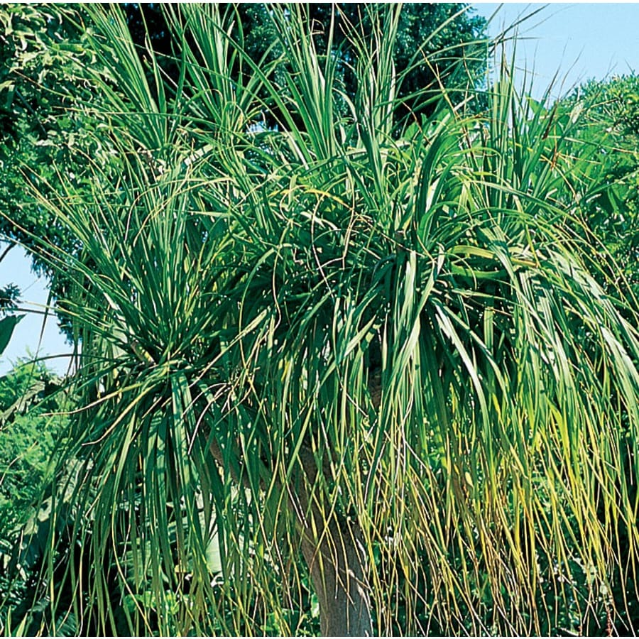 13-oz White Ponytail Palm Feature Shrub (L9998)