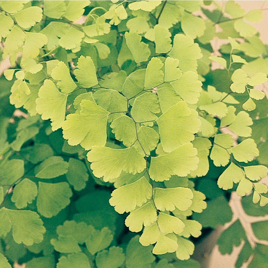 Maidenhair Fern (L2296HP)