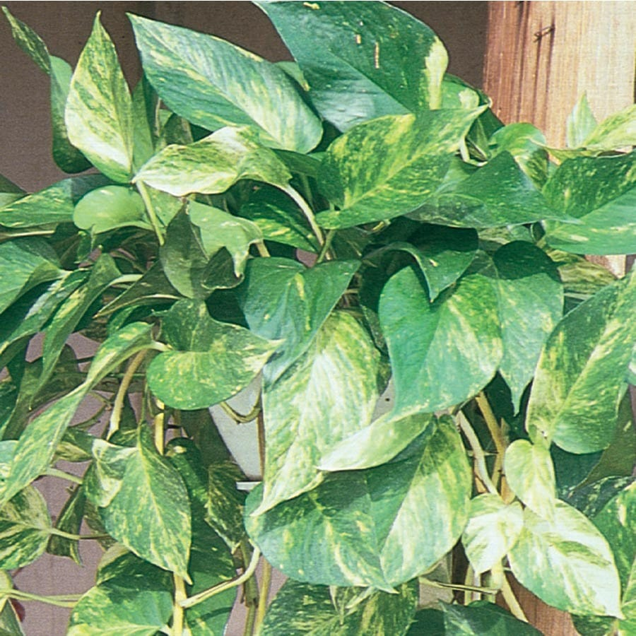 13-oz Marble Queen Pothos (L20948HP)