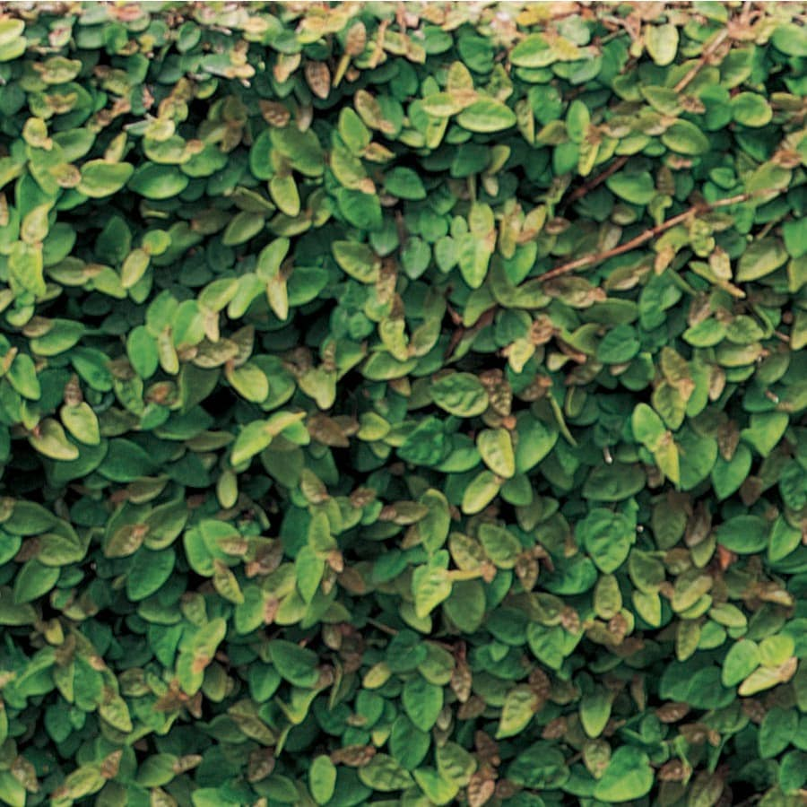 1.65-Quart Creeping Fig (L9249)